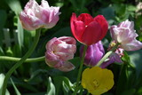 red tulip surrounded by pink and yellow tulips close-up - 206007597