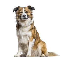 Border Collie dog sitting against white background