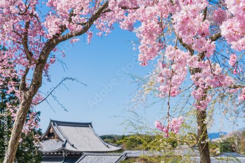 Aluminium Kyoto 京都の春の風景 満開の桜 京都 日本