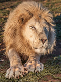 Eye to eye with a lion - 206023719