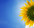 Beautiful back side of sun flower look up to the sund with blue sky