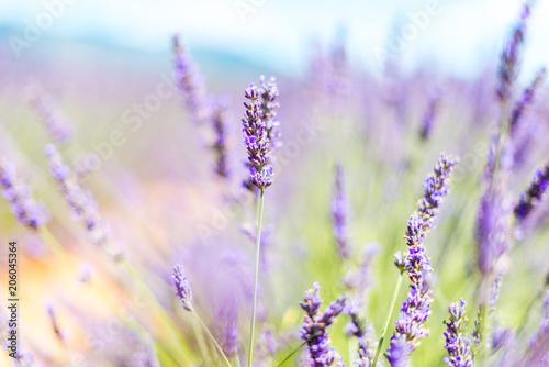 Fotobehang Lavendel lavande - provence