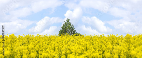 Fotobehang Oranje Beautiful spring landscape: green tree in the field of blooming yellow rape and blue sky with white clouds