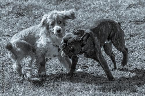 Fotobehang Franse bulldog Cocker Spaniel Playing Outdoors with a French Bulldog