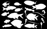 group of twenty one tropical white fishes on black