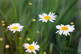Camomiles close-up. Flowers