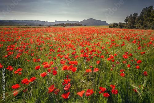 Plexiglas Klaprozen Beautiful field of red poppies in the sunrise light, in the Valderrobres medieval village, Matarrana district, Teruel province, Spain