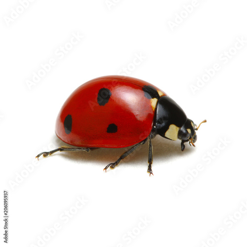 Ladybug isolated on white