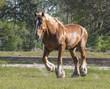 Belgian draft horse stallion running in pasture