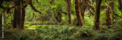 Trees and ferns in the Hoh rain forest in Washington, USA - 206098176