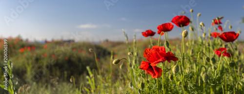 Plexiglas Klaprozen Panorama of flowers red poppies blossom on wild field in Ukraine