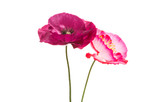 beautiful poppy isolated