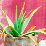 Plant on pink concept. Tropical green  Aloe - 206123396