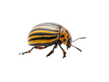Colorado Potato Beetle Pest Insect Isolated on White Background