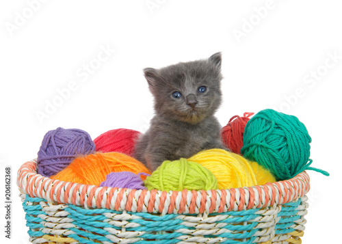 Plexiglas Kat Three week old grey kitten sitting in a basket of yarn balls in multiple colors looking at viewer. Isolated on white background.