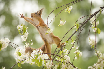 red squirrel is looking up on an branch