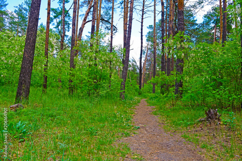 Aluminium Groene A long narrow road in a pine forest. Summer forest landscape.