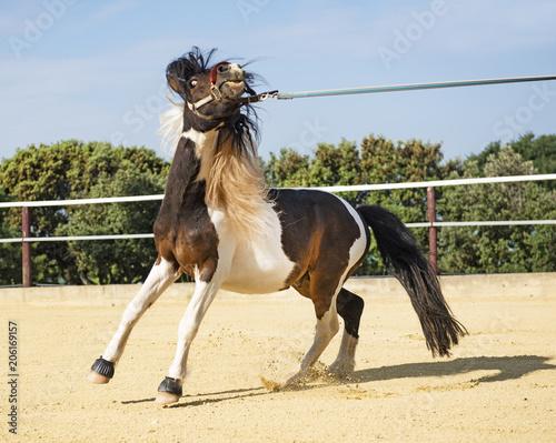 Fotobehang Paarden retive pony in lunge