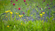 Dandelion on a blurred background with leaves on a meadow with tulips in background