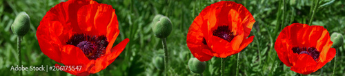 Fotobehang Rood traf. header panorama website fresh beautiful red poppies on green field