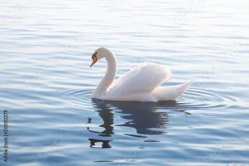 Aluminium Zwaan Tender White Swan is Swimming on the Calm Water