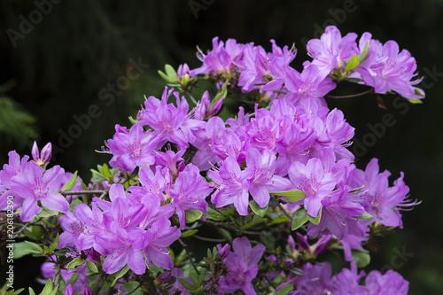 Canvas Azalea Purple azalea flowers on bushes.