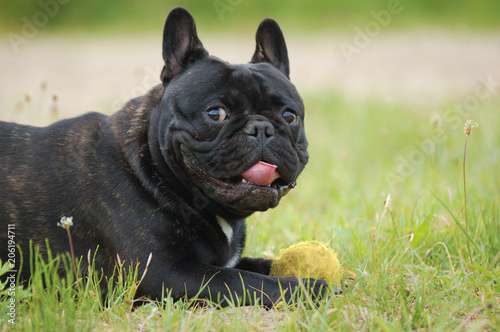 Aluminium Franse bulldog Black French bulldog lying in a meadow, holding his ball.