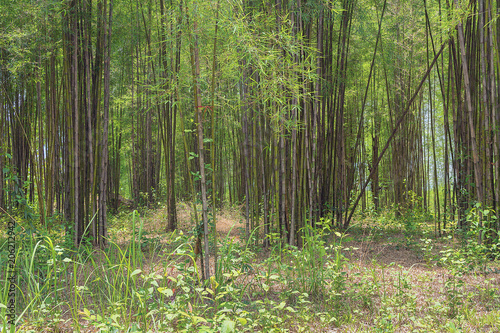 Fotobehang Bamboe bamboo trees in a forest in thailand