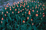 Tulip flowers meadow, selective focus. Spring nature background - 206218932
