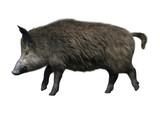 3D Rendering Wild Boar on White - 206226723