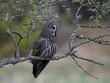 Quadro Great grey owl (Strix nebulosa)