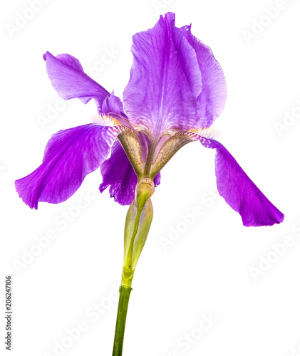 Aluminium Iris purple iris flower. isolated on white background