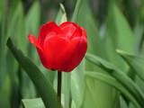 тюльпан - 206251584