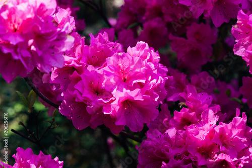 Aluminium Azalea Pink Azalea In Bloom