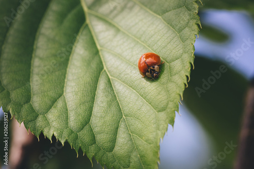 Red ladybug on a green raspberry leaf.