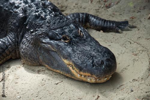 Fotobehang Amusementspark Coccodrillo/Alligatore al sole
