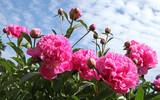 Pivoines roses - 206265957