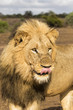 Big male lion portrait in Kruger National Park near restcamp Satara in South Africa