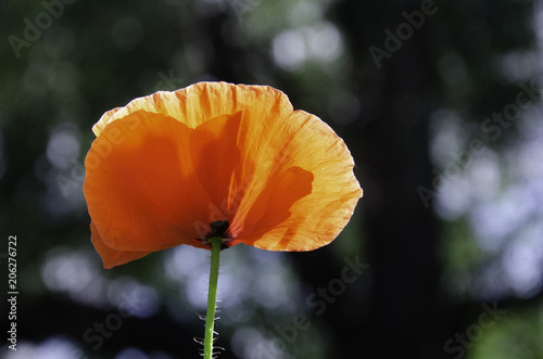 Fototapeta Poppies in a meadow, summer sunny day.