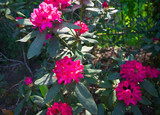 Rhododendron plants in bloom with flowers