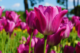 beautiful tulips on a summer day against the blue sky - 206323772
