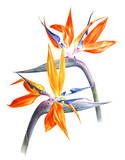Watercolor strelitzia - bird of paradise - flowers - 206327530