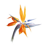 Watercolor bird of paradise flower - 206327562
