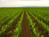 Green corn maize plants on a field. Agricultural landscape - 206331158