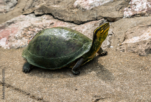 Aluminium Schildpad Tortoise sitting on a stone in Thailand holding head up high