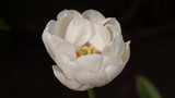 White tulip on a light background. Macro photography. Defocusing. Wallpaper. - 206333521