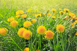 Dandelions field background.