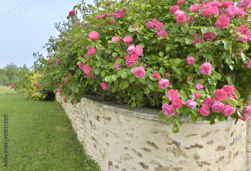 Poster beautiful pink rose bush blooming abose a low wall of a garden