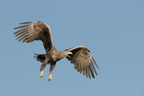 Eagle in Flight and Calling - 206362144
