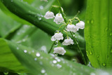 Beautiful springtime nature background. Blooming lily of the valley in a spring forest in a water drops after rain close up on a shallow depth of field bokeh background. Freshness and purity concept.